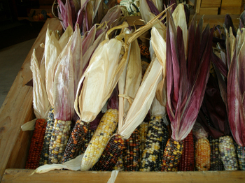Indian_corn